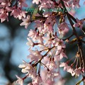 Photos: 桜 品種は??