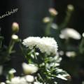 Photos: 庭の菊