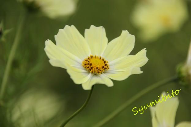 黄色い秋桜