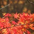 Photos: モミジ 紅葉