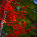 写真: 『鮮赤。。。』