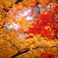 写真: 『燃ゆる。。。』 ~香嵐渓~