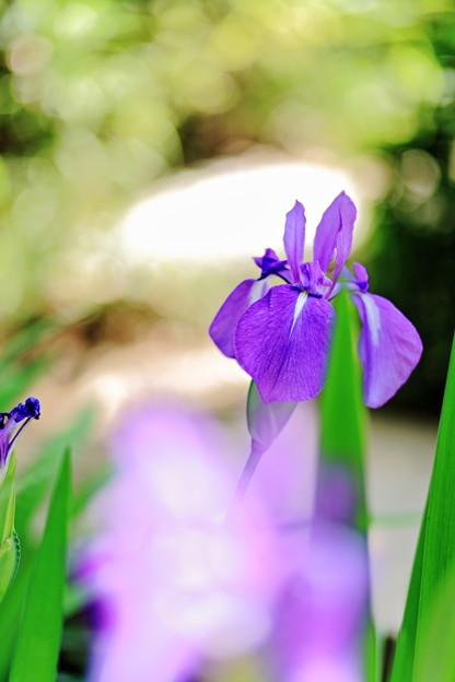 写真: 『淡藍×新緑』 ~無量寿寺 カキツバタ~