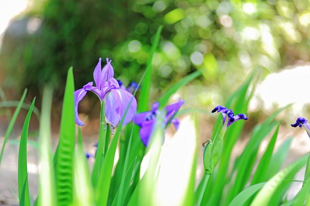 写真: 『初夏の彩り』 ~無量寿寺 カキツバタ~