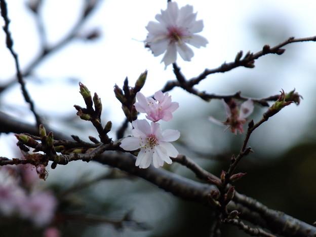 花の美術館-さくら
