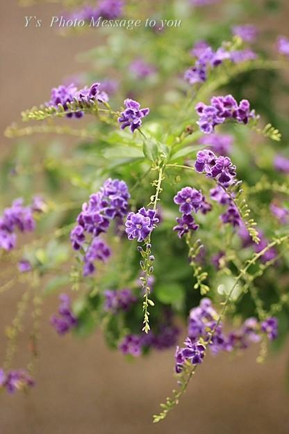 デュランタ    花
