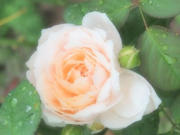 きらきら雫  薔薇 アンブリッジ