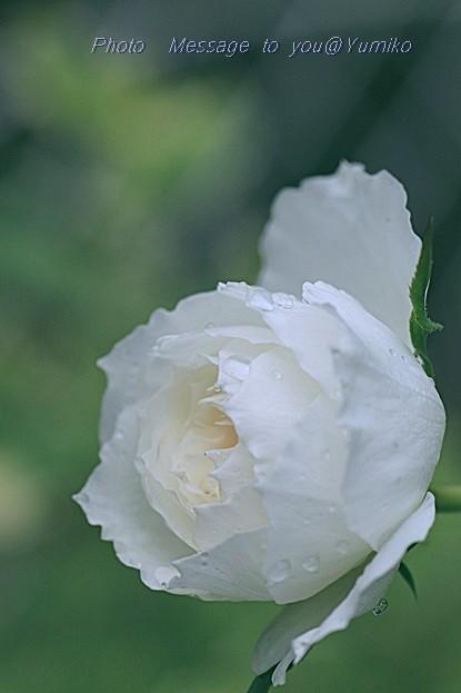白薔薇しずくの横顔