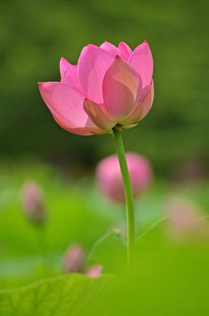 古代蓮開花