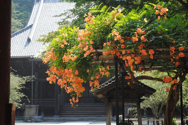 写真: 13,07,12妙本寺ノウゼンカズラ横-5