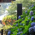 写真: 13,07,12妙本寺ノウゼンカズラ横-9