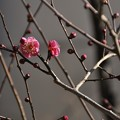 Photos: 黒目川沿いに咲いていた紅梅?