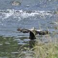5月31日、カルガモの着水