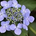 黒目川沿いの額紫陽花?