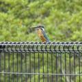 フェンスの上のカワセミ(2)