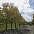 三笠運動公園のイチョウ並木