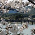 Photos: 桜の嵐山