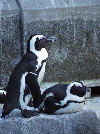 ケープペンギン
