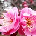 春を待ちきれない(^_^) 梅