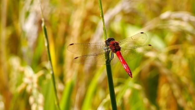 稲穂に赤蜻蛉
