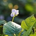 四角豆の花