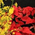 Photos: 赤い葉っぱポインセチア