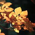 写真: 秋に輝く
