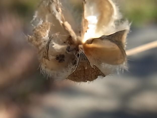 枯れ芙蓉種こぼす