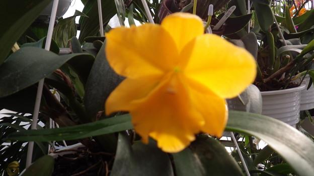 Rlc.Sweet Lemon 'Honeymoon'  (48)