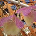 Photos: Den.aphyllum