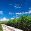 写真: サトウキビ畑