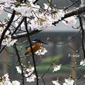 Photos: カワ桜