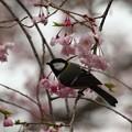 Photos: 四十雀と桜