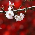 Photos: sakuraとmomiji