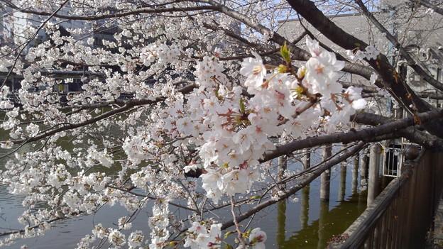 桜 @市ヶ谷