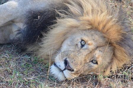ライオン。寝起きにギロって観られたとこ