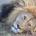 写真: ライオン。寝起きにギロって観られたとこ