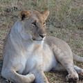 写真: メスライオン。毛並みがキレイ