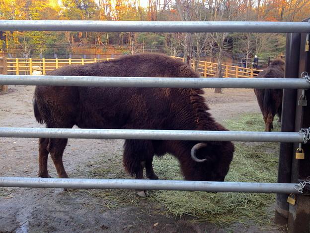 東山動植物園:食事中のアメリカハ?イソン