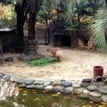 写真: 東山動植物園:カピバラ - 3