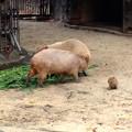 写真: 東山動植物園:生まれたばかりのカピバラの赤ちゃんとその両親 - 3