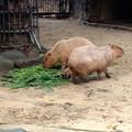 写真: 東山動植物園:生まれたばかりのカピバラの赤ちゃんとその両親 - 5