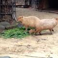 写真: 東山動植物園:生まれたばかりのカピバラの赤ちゃんとその両親 - 6