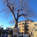 Photos: 二葉館前の駐車場にある巨木