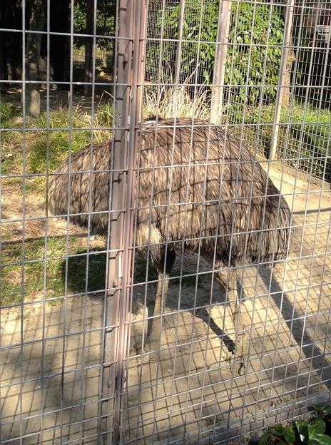 東山動植物園:エミュー - 1