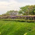 写真: 名古屋城東門前の「藤の回廊」 - 2