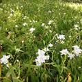 Photos: 白川公園で咲いていた可愛らしい白くて小さな花 - 1
