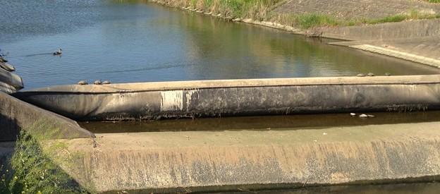 川の水を堰き止めるゴムチューブ(?)の上で日光浴をする亀 - 2