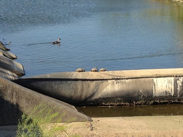 川の水を堰き止めるゴムチューブ(?)の上で日光浴をする亀 - 3