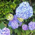 写真: 近所の庭先に咲いていたアジサイ - 1